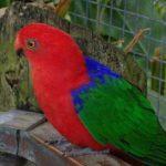 1200px-Alisterus_amboinensis_-Brevard_Zoo-8b-4c-762x600
