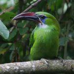 (Aulacorhynchus sulcatus)
