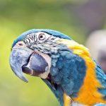Blaulatzara, auch Blaukehlara oder Caninde-Ara (Ara glaucogularis)
