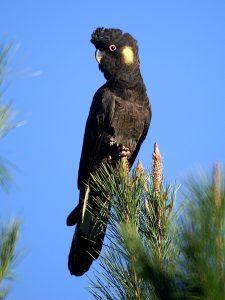 Gelbohr-Rabenkakadu (Calyptorhynchus funereus)