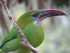 Gelbbrauenarassari (Aulacorhynchus huallagae)