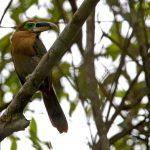 Gould-Arassari (Selenidera gouldii)