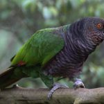 Imperial_PArrot_PM-800x560