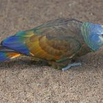 Königsamazone (Amazona guildingii)