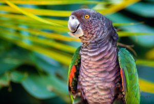 Kaiseramazone oder Sisserou (Amazona imperialis)
