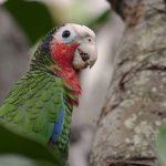 Kuba-Amazone (Amazona leucocephala)