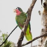 Kuba-Amazone (Amazona leucocephala)2