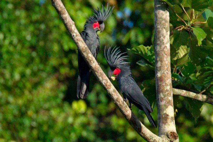 Palmkakadu oder Arakakadu (Probosciger aterrimus)