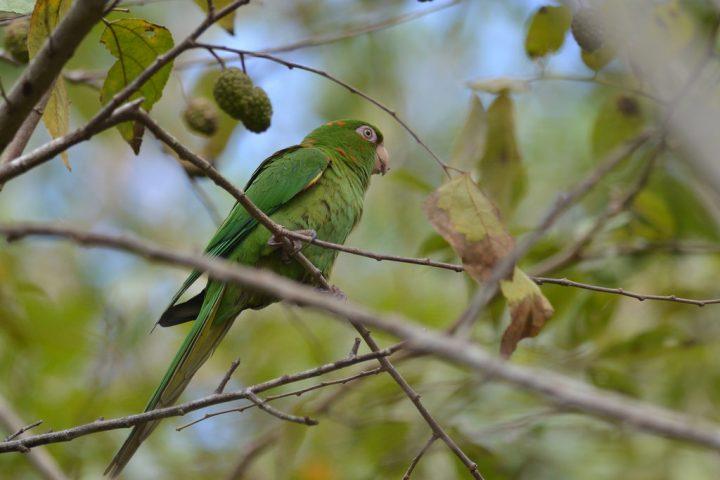 Psittacara euops (Kubanischer Sittich)