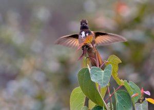 Rotbrust-Andenkolibri (Aglaeactis castelnaudii) oder Weißbüschelkolibri
