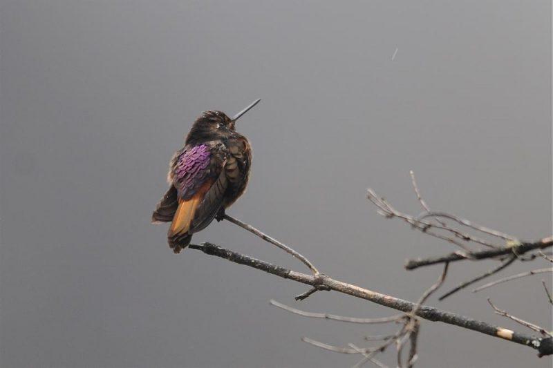 Rotbrust-Andenkolibri (Aglaeactis castelnaudii)