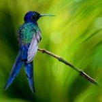 Breitschwingenkolibri