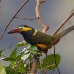 Reinwardt-Arassari (Selenidera reinwardtii)