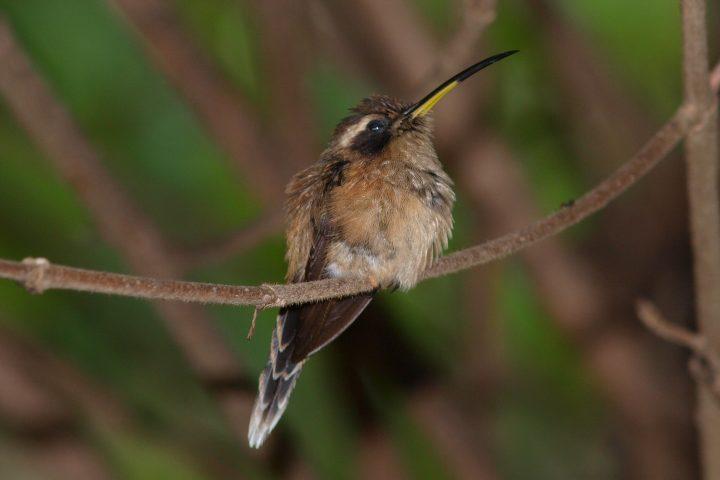 Streifenkehl-Schattenkolibri (Phaethornis striigularis)