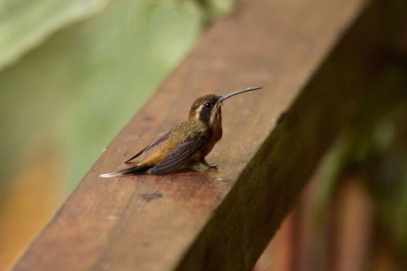 Streifenkehl-Schattenkolibri
