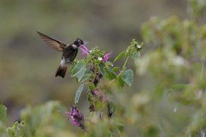 Weißbrust-Andenkolibri (Aglaeactis aliciae), auch als Purpurrückenkolibri