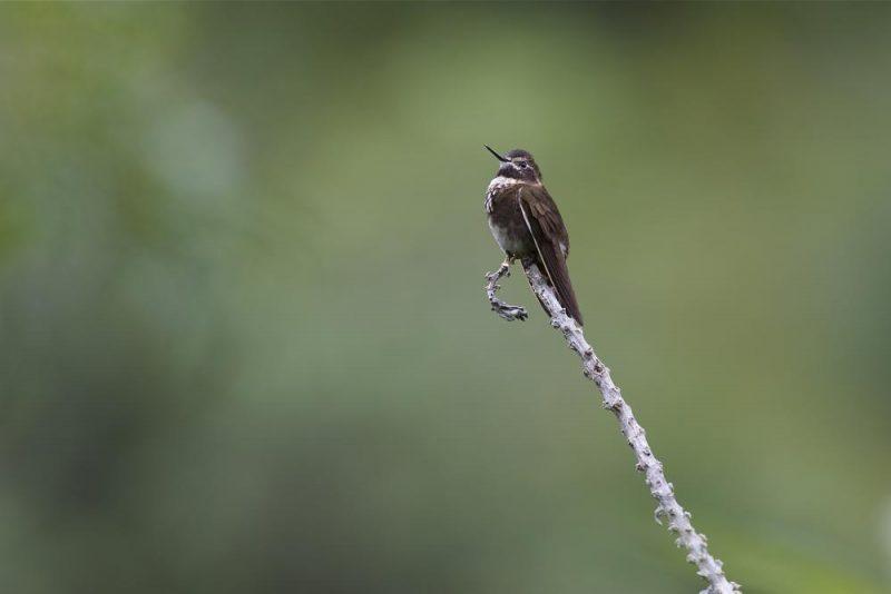 Weißbrust-Andenkolibri