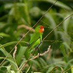Orangeköpfchen (Agapornis pullarius)