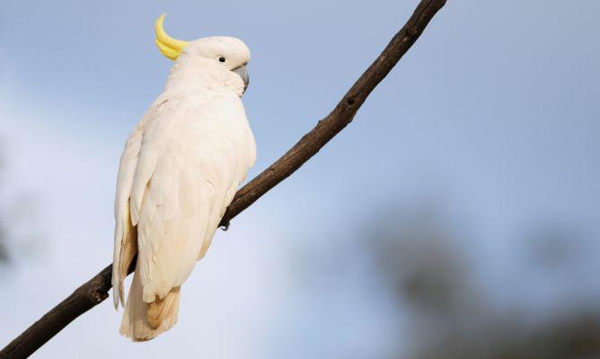 kakadu auf einen Ast
