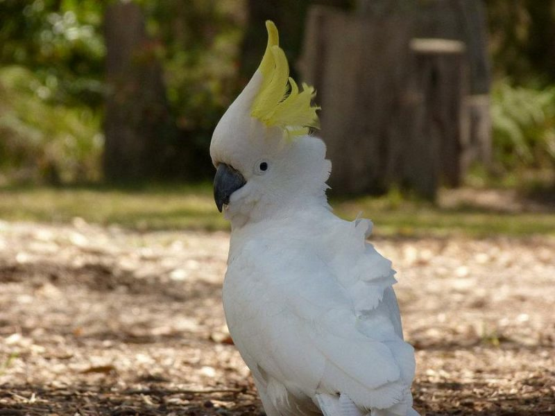 kakadu in der natur