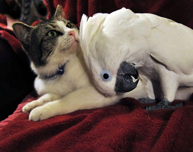 kakadu kuschelt mit einer katze