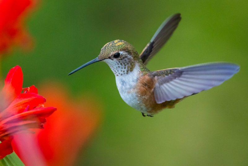 kolibri enährt sich