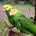 papagaeienpaar