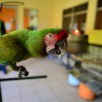 papagai als haustier