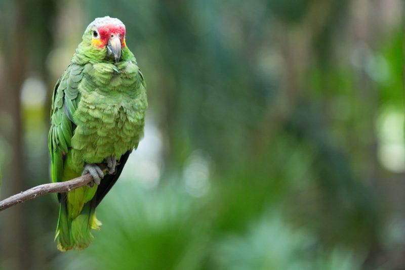rotter kopf papagai