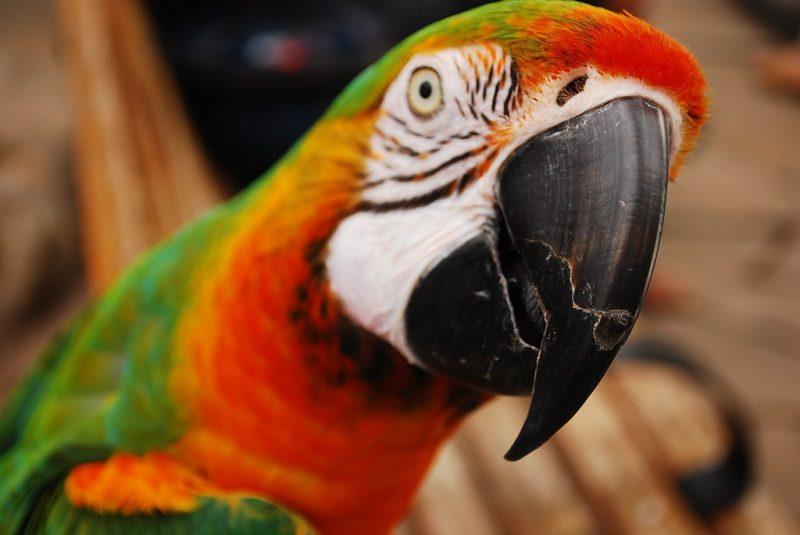schöner papagai