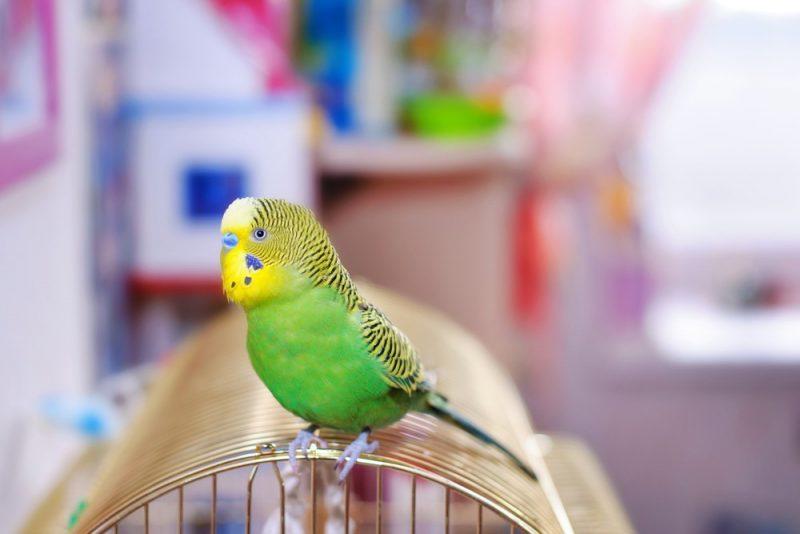 sittich sitzt auf seinem käfig