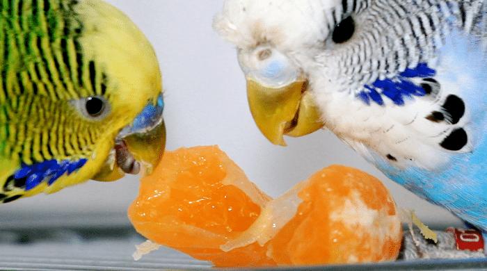 sittiche beim essen
