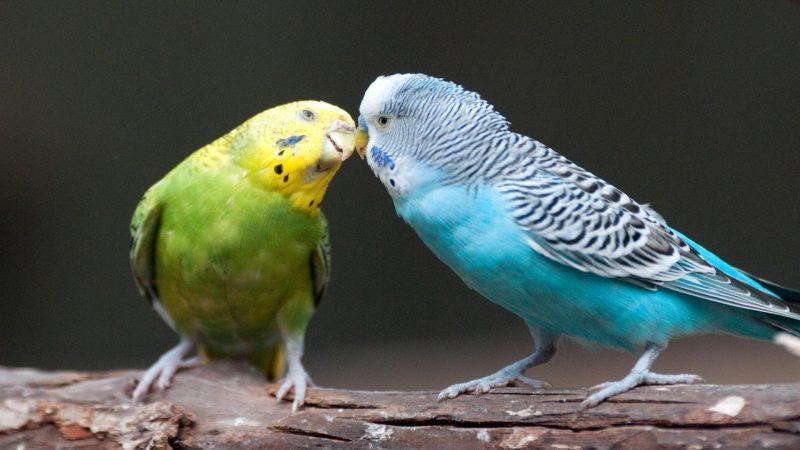 sittiche blau gruen gelb