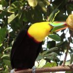 Tukane (Ramphastidae)