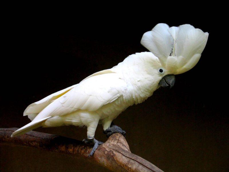 weiser kakadu