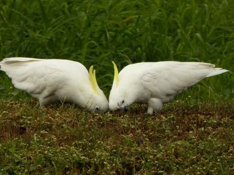 zwei kakadus am essen