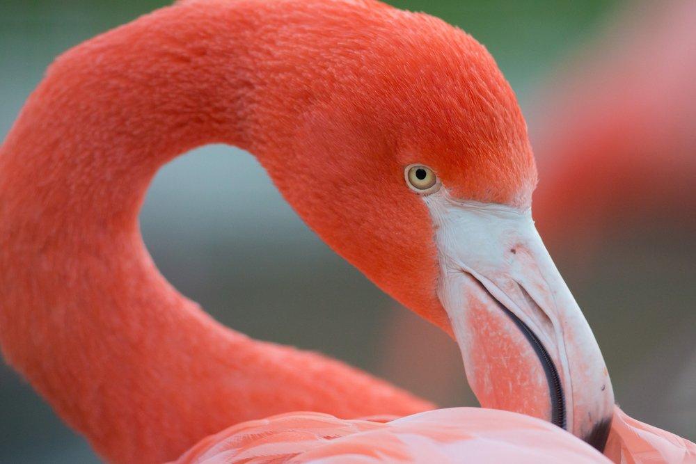 Flamingos (Phoenicopteridae)