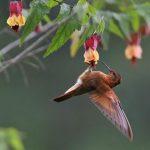 Rostrote Andenkolibri (Aglaeactis cupripennis)
