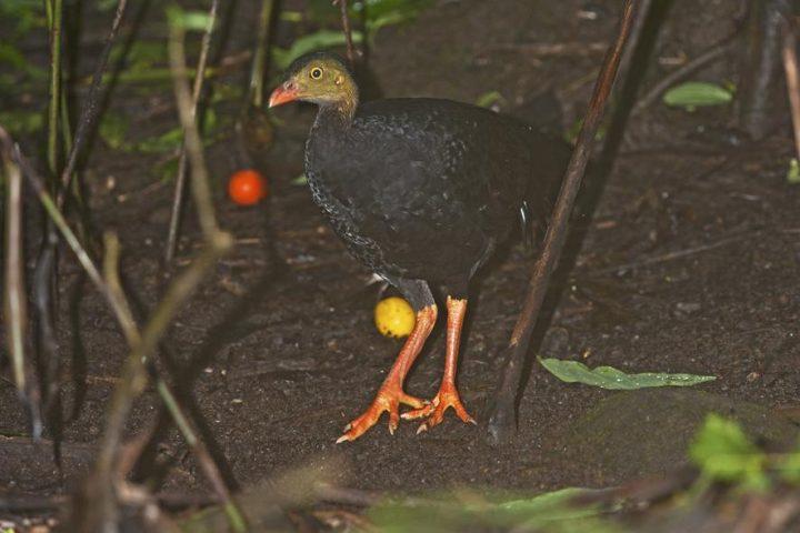 Rotschnabeltalegalla