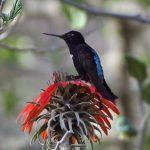 Schwarzbauch-Andenkolibri