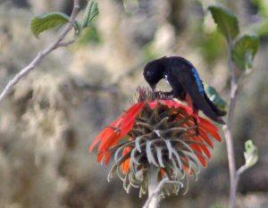Schwarzbauch-Andenkolibri (Aglaeactis pamela), auch als Pamelakolibri