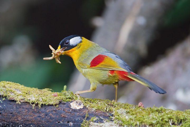 Silberohr-Sonnenvogel (Leiothrix argentauris)