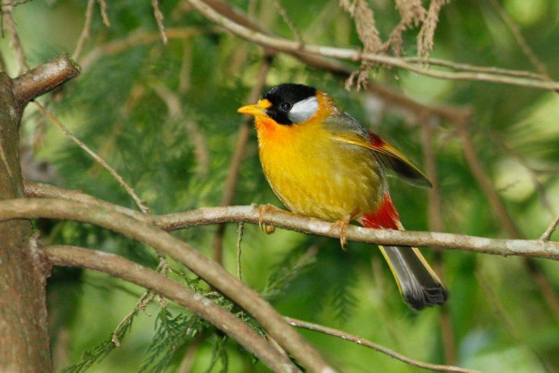 Silberohr-Sonnenvogel