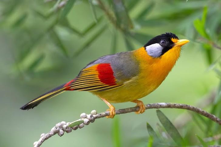 Sonnenvogel (Leiothrix argentauris)