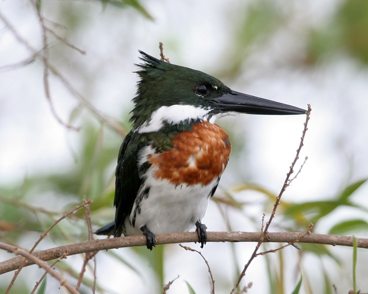eisvogel 1