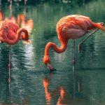 flamingos am essen