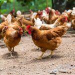 hühner auf den bauernhof