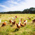 hühner auf den feld