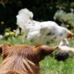 hund passt auf hühner auf