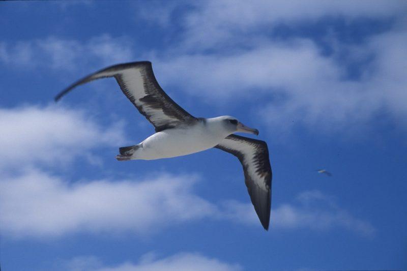 1 Albatrosse (Diomedeidae) (2)